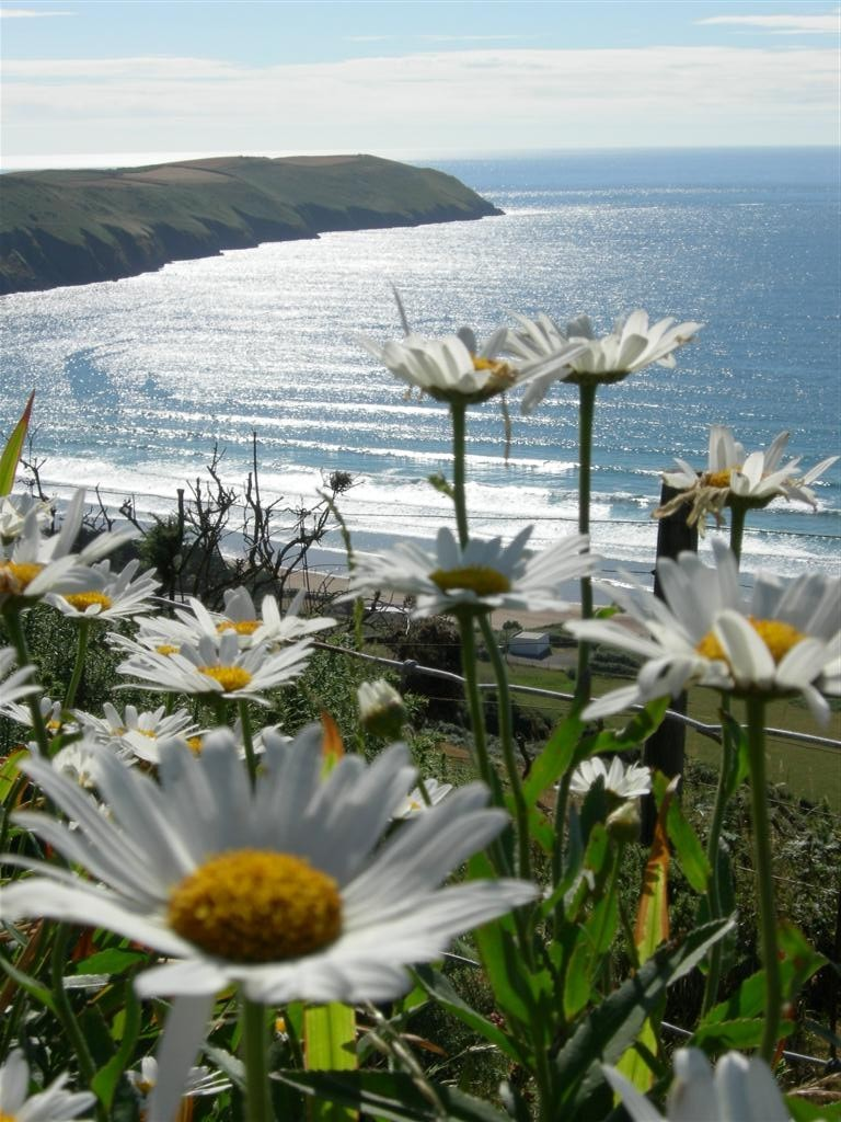 Photo of Ox-eye daisies on cliffs above the sea at Baggy Point