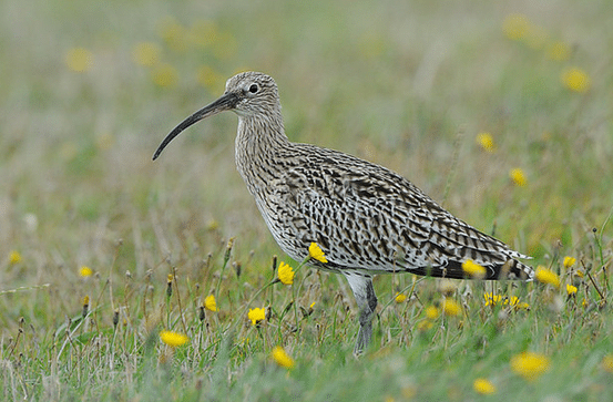 Photo of a curlew in grassland