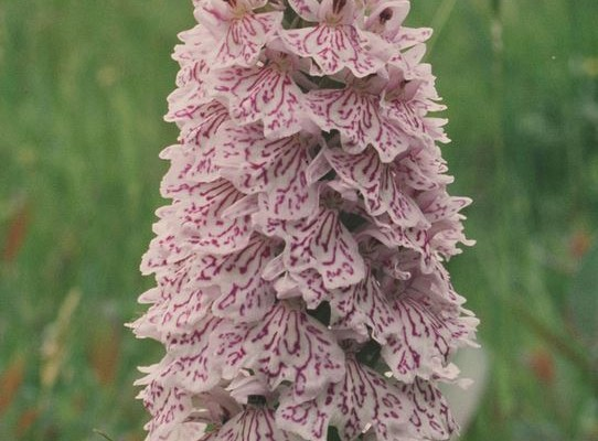 Photo of a heath spotted orchid