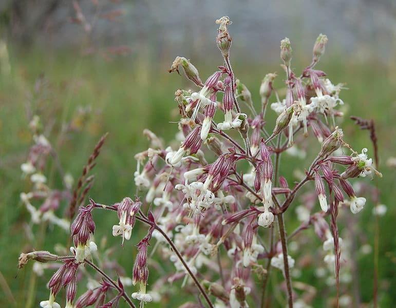 Photo of white grassland flowers