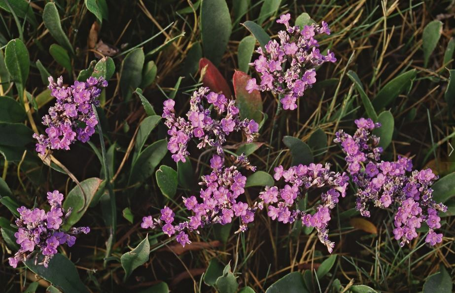Photo of the pink flowers of sea lavender