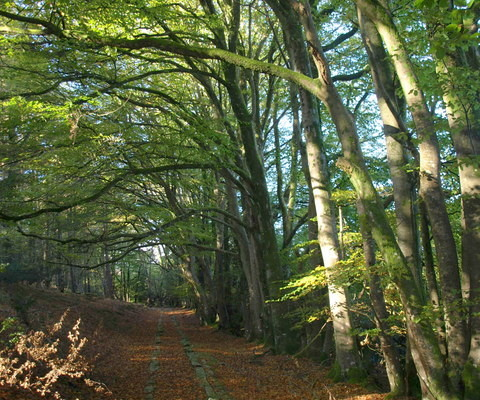 Photo of a trail through beech woodland in spring