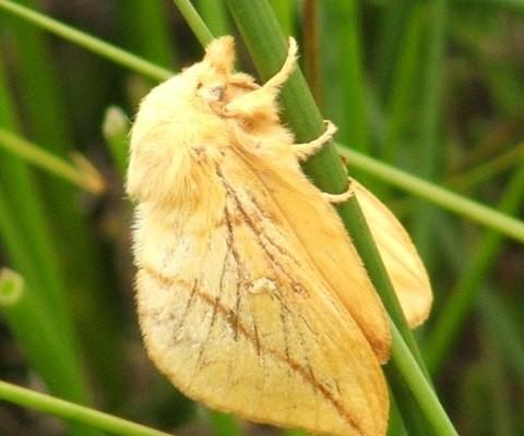 Photo of a drinker moth