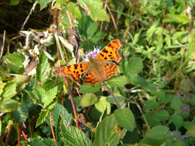 Photo of a comma butterfly on vegetation at Andrews Wood