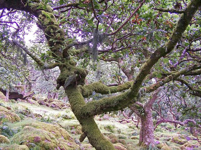 Photo of lichen on trees and rocks at Black-a-Tor Copse, Okehampton