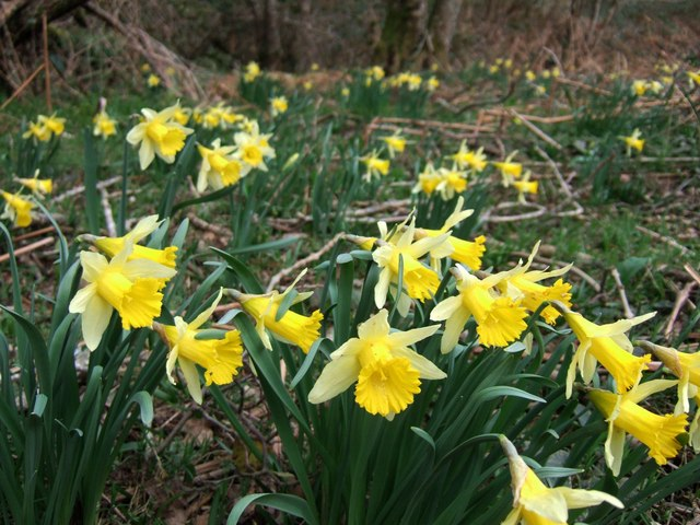 Photo of daffodils in a woodland