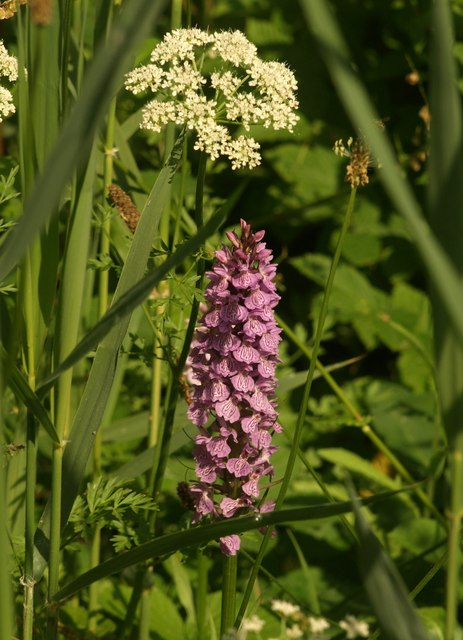 Photo of an orchid at Jetty Marsh, Newton Abbot