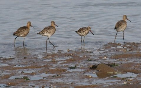 Photo of wading birds on the Axe Estuary