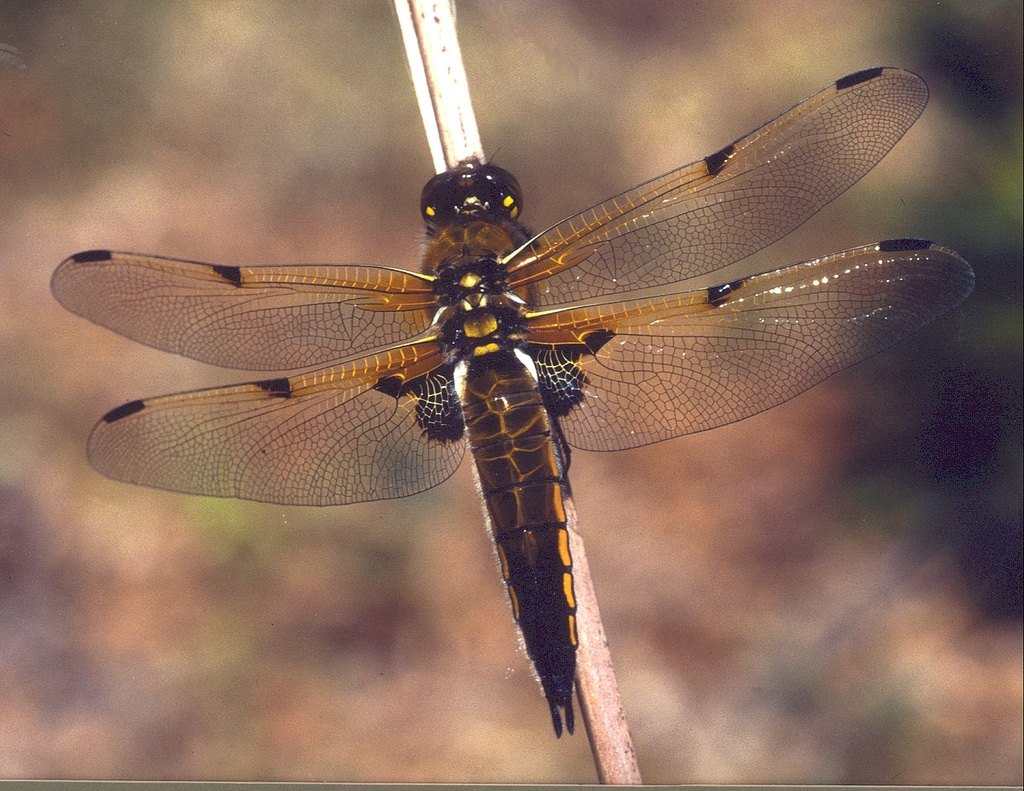 Photo of a brown dragonfly