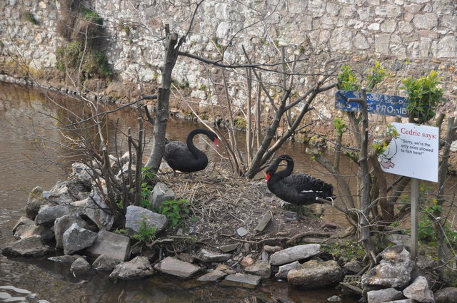 Photo of black swans on a nest in Dawlish