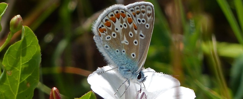 Photo of a Common Blue butterfly on a white flower
