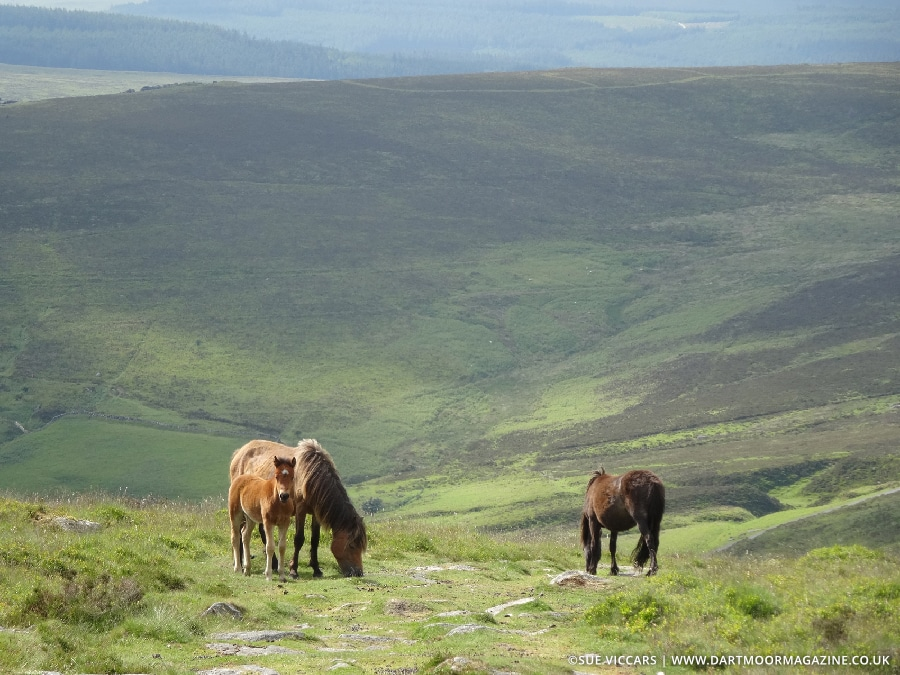 Photo of Dartmoor ponies on Hameldown, Dartmoor