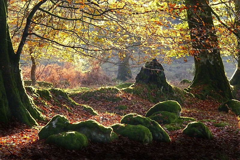Photo of a beech wood in autumn showing autumn leaves and rocks