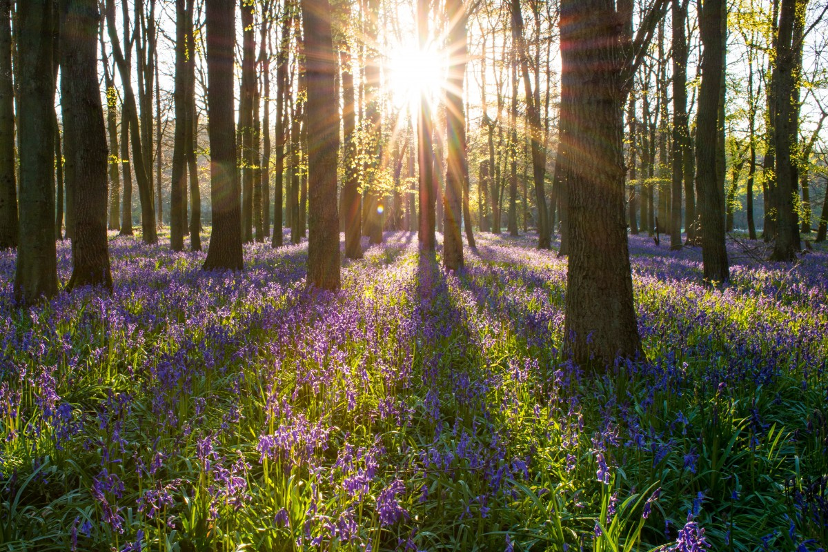 Photo of sunlight streaming through trees in a bluebell forest