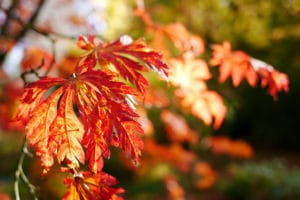 Photo of red and orange maple leaves in Autumn