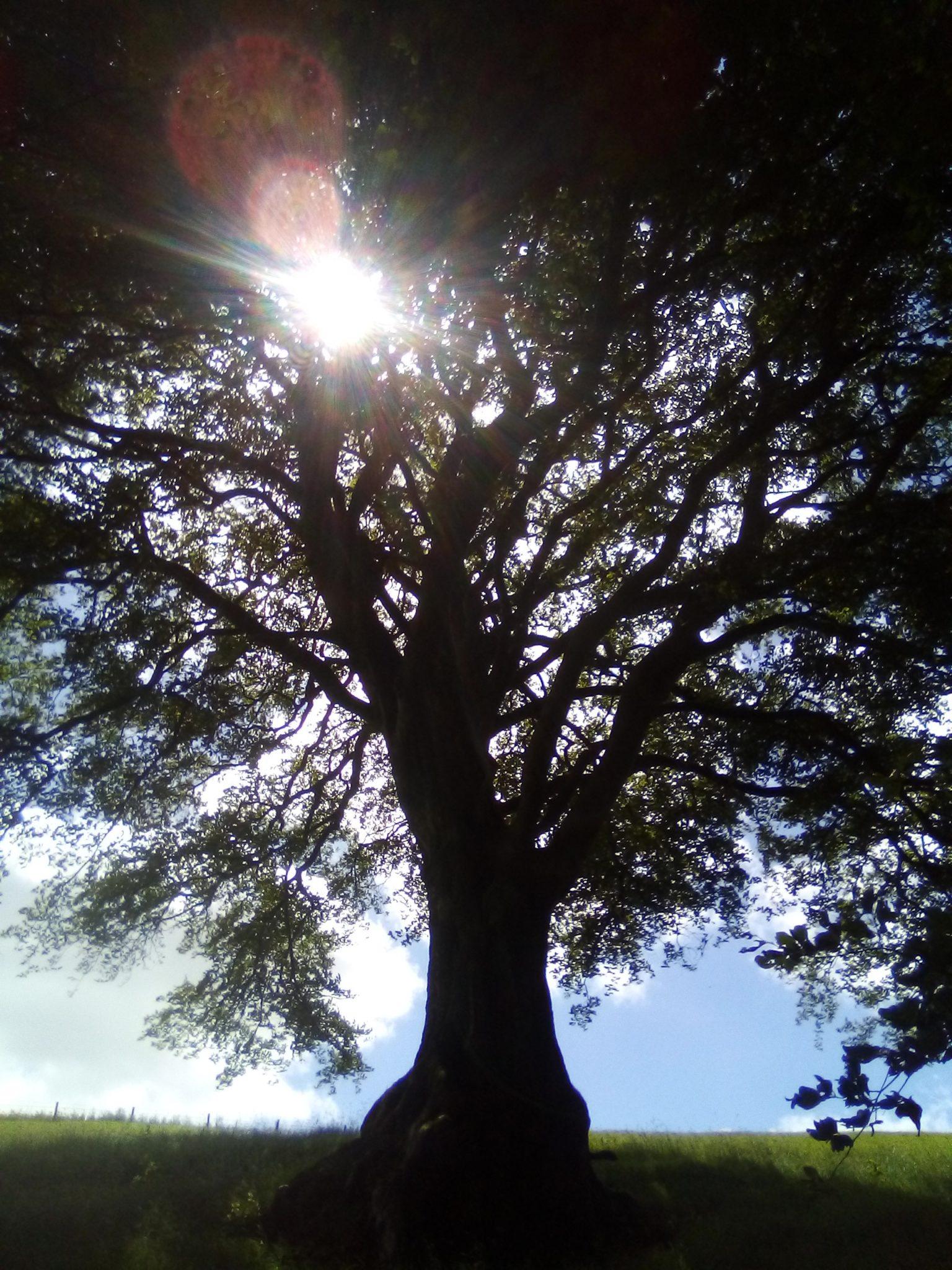 Photo of the sun shining through a beech tree